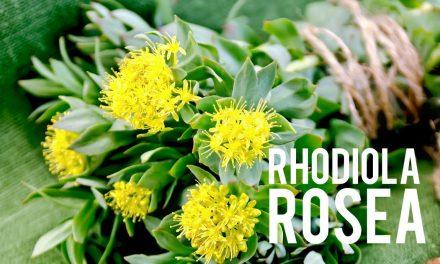 Rhodiola Rosea, chassez le stress et perdez du poids!