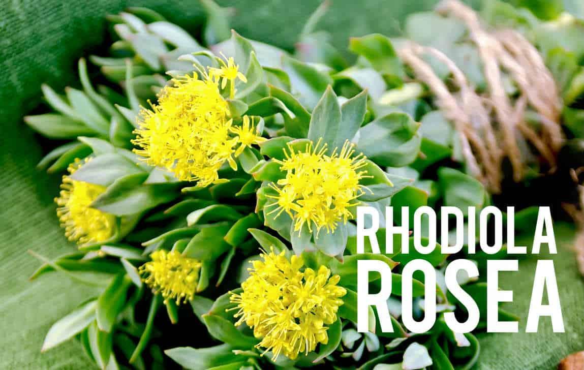 Rhodiola Rosea Blog
