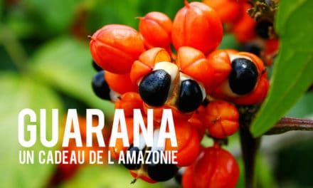 Le Guarana, un cadeau de l'Amazonie!