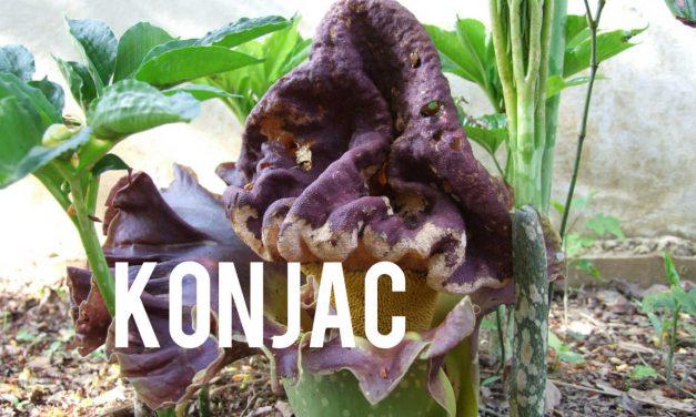 Konjac, le coupe faim naturel au pouvoir étonnant