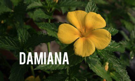 La Damiana, Tonique Naturel Allié de votre Bien-Être