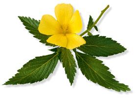 Damiana-plante