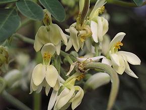 fleurs-moringa
