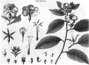 damiana-botanique