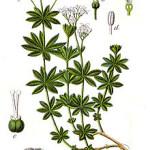 fiche-botanique-asperule-odorante