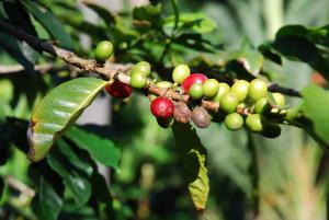 cafeier-arbuste-du-cafe-vert