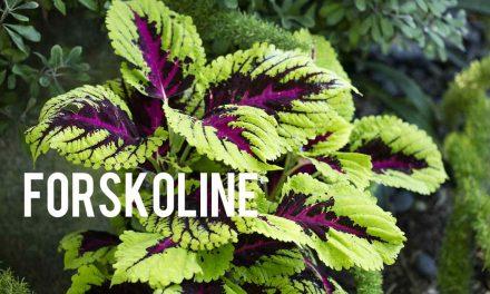 Forskoline, le brûleur de graisse naturel
