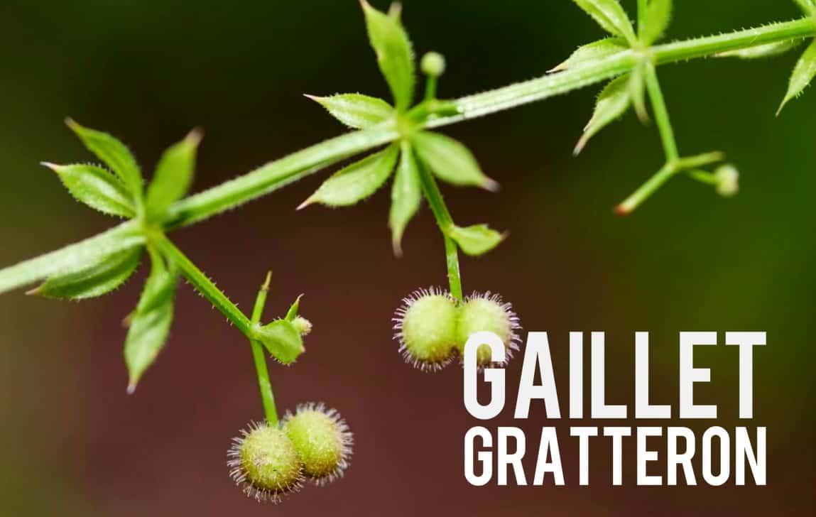 Gaillet Gratteron Blog