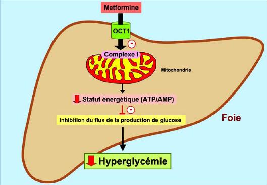 metformine-500-mecanisme-action