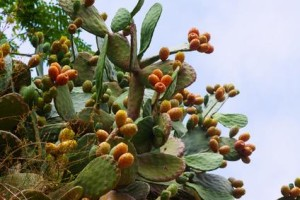 plante-nopal-ou-figuier-de-barbarie