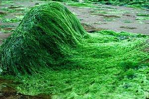 spiruline-exemple-d-algues-pour-maigrir