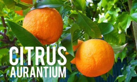 Citrus aurantium, le réducteur de poids thermogénique