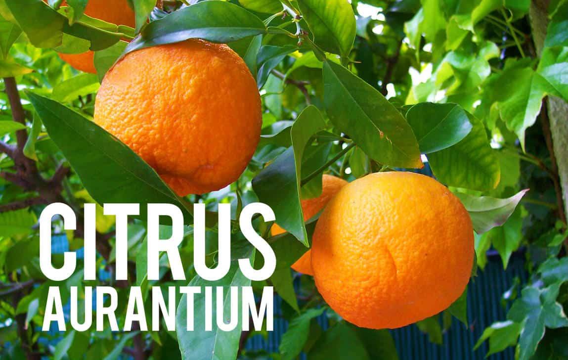 Citrus aurantium Blog