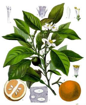 Citrus aurantium Botanique
