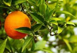Citrus aurantium Fiche Identite