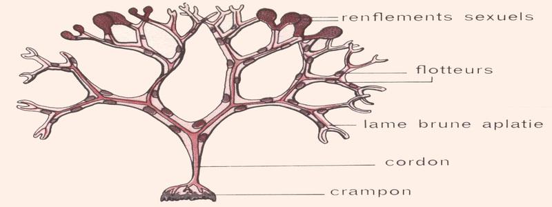 description-botanique-du-fucus