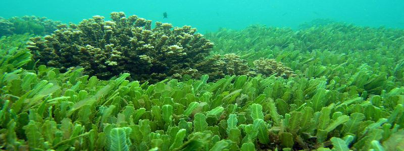 milieu-naturel-de-l-algue-chlorelle-pour-maigrir
