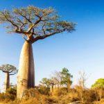 Baobab effet minceur