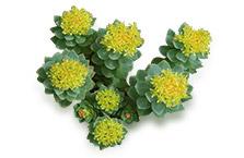 rhodiola-rosea-plante
