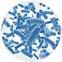 bifidobacterium-infantis