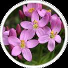 erythree-centaurium