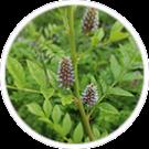 glabra-de-glycorrhiza-reglisse