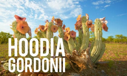 Hoodia Gordonii, ce que vous ne saviez pas!