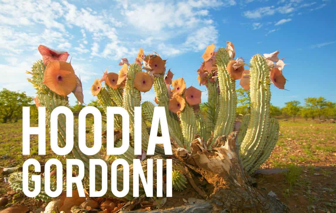 Hoodia Gordonii Blog