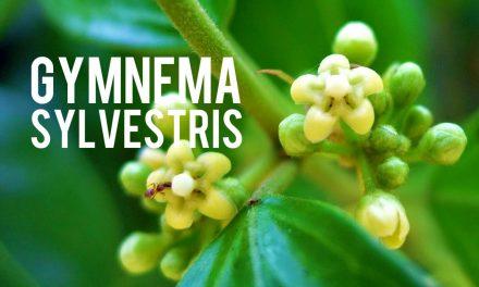 Gymnema sylvestris, désactivateur du goût sucré!