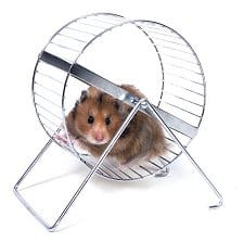 Leptine hamster cercle vicieux