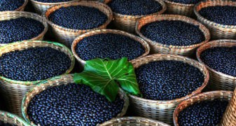 Acai Berry Plantation