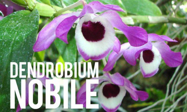 Dendrobium Nobile, la belle orchidée aux effets minceur