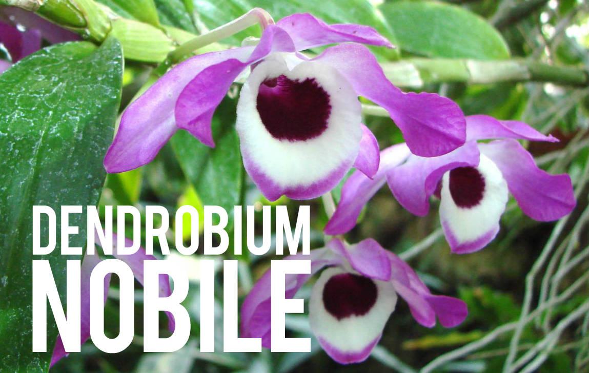 Dendrobium Nobile Blog