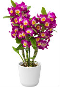Dendrobium Nobile Introduction