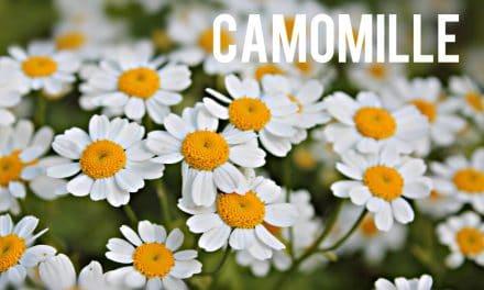 Camomille, une petite fleur aux grandes vertus santé et minceur