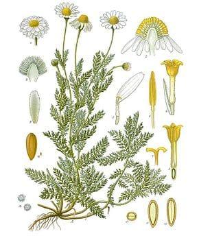 Camomille Botanique