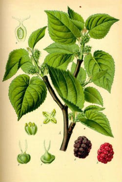 White Mulberry Leaf Extract Botanique