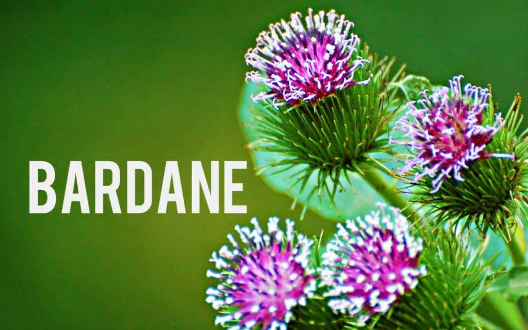 La bardane, cette plante détox aux effets amincissants!