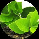 Extrait de feuilles de the vert